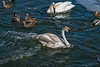 Trumpeter swans and mallards
