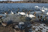 Swans and mallards gathered at the playground boat ramp