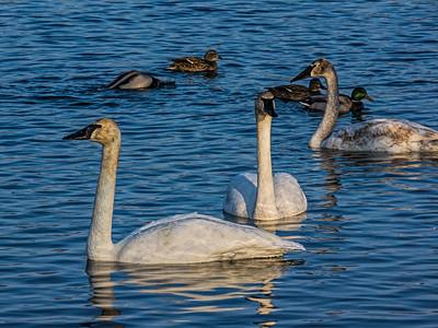Birds - Waterfowl 1 - All swans