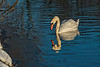 Approaching the river bank - mute swan