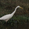 Egret with blue