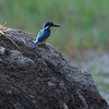 Just a tiny Blue Kingfisher