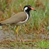 300 2.8vr w/tc2 Red-wattled Lapwing