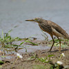 A stalking Pond Heron at the Pond today after the beach.