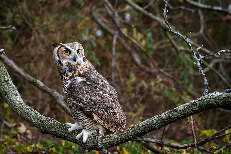 Great Horned Owl #1