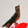 Hummingbird Perched III