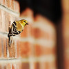 Goldfinch on Brick