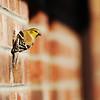 Goldfinch on Brick