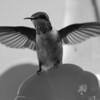 Hummingbird Perched IV