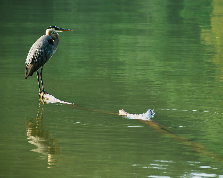 Green Water Heron