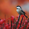 Burning Bush Chickadee