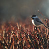 Morning Light Chickadee