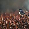 Morning Light Chickadee