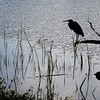 Heron Perched