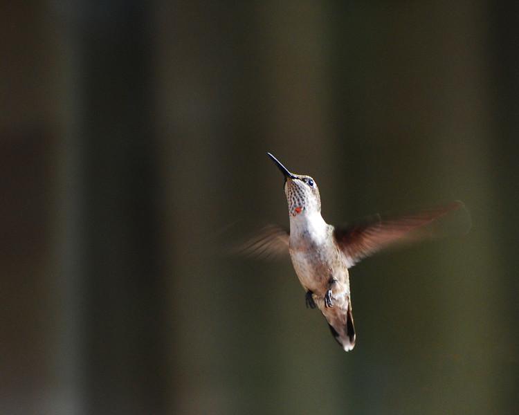 Hummingbird in Flight II