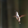 Hummingbird in Flight II