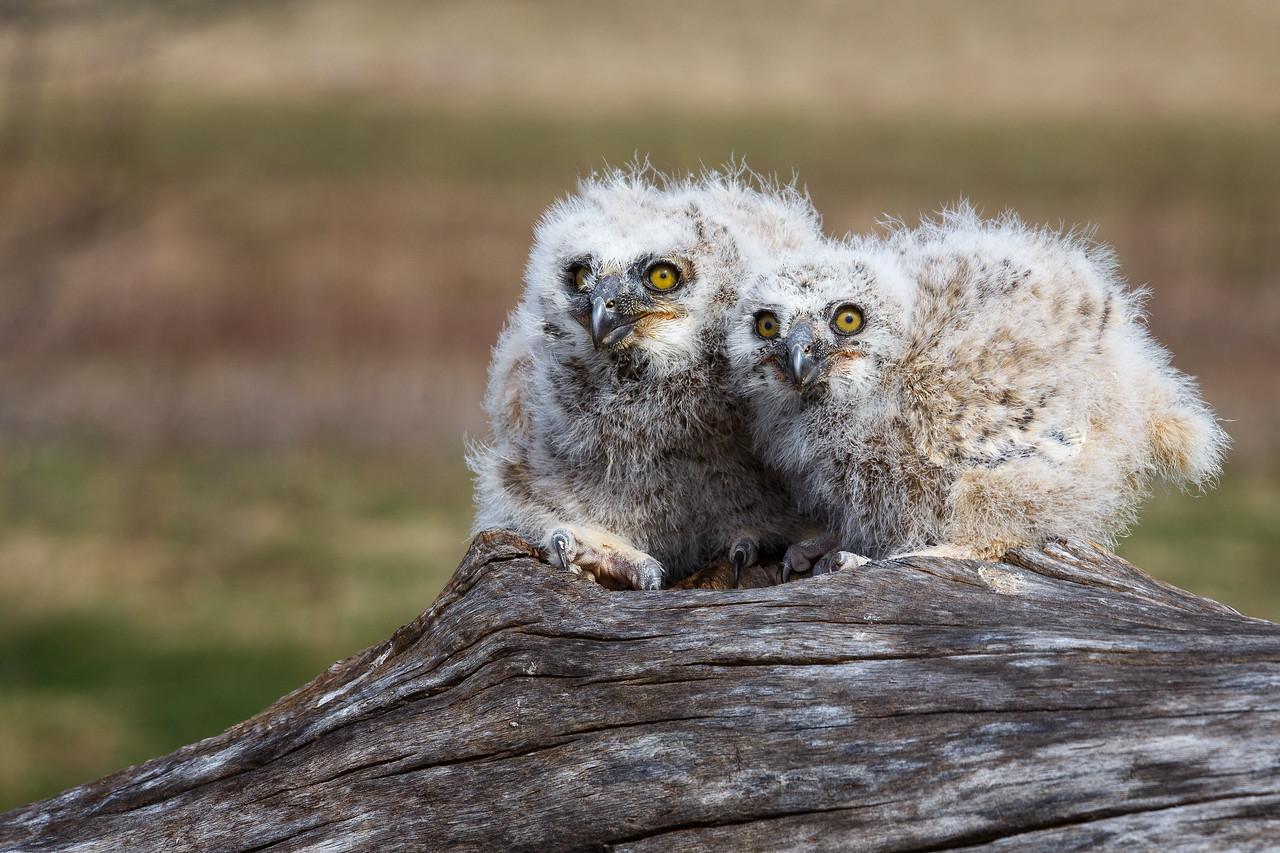 Great Horned Owl - Owlets