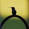 Hummingbird Perched II