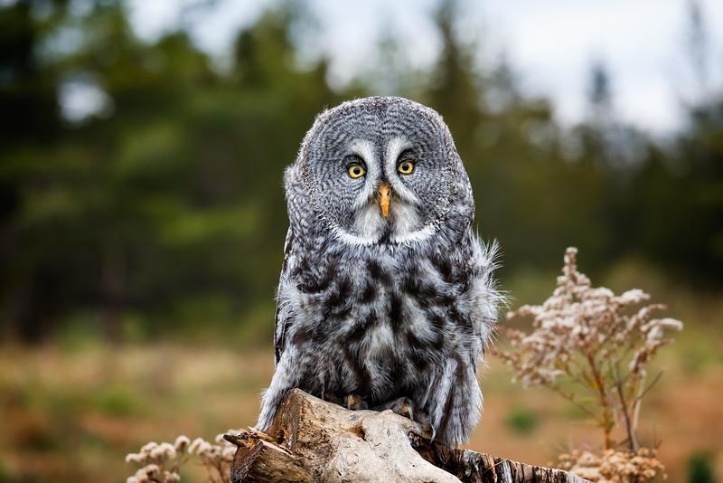 Great Grey Owl #2