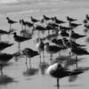 Gull Mob