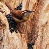 Driftwood Wren