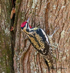 Yellow-bellied Sapsucker