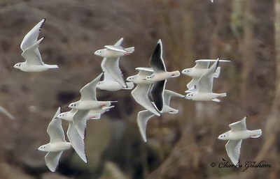 Little Gull (HUGE crop)    see GPS