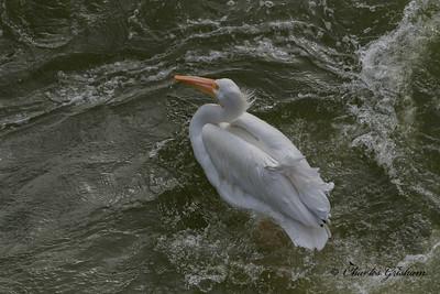 American White Pelican at Wilson Dam