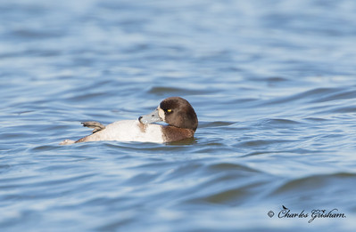 Greater Scaup, maybe Lessor?