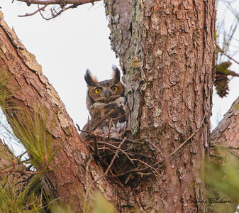 Great-horned Owl in north Alabama