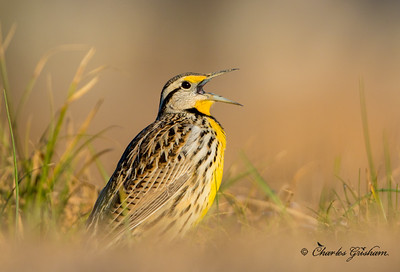 Eastern Meadowlark at Sunrise in Paintrock