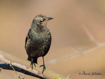 Rusty Blackbird at sunrise in Paintrock