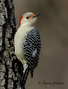 Female Red-bellied Woodpecker (Melanerpes carolinus) on Grisham Acres / Berry Mountain.