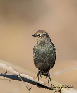 Rusty Blackbird at sunrise in Paintrock