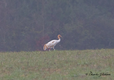 Whooping Crane at Wheeler (immature female)    heavy, crappy crop