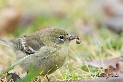 Pine Warbler at Wheeler