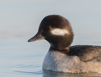 Bufflehead - First year male
