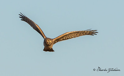 Northern Harrier at Sunset
