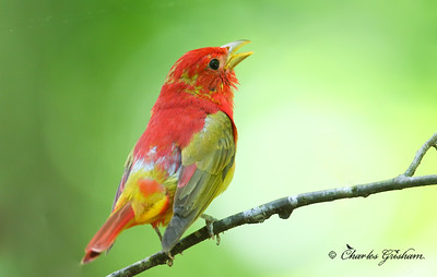 Summer Tanager.  Molting Male
