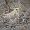 Leucistic Savannah Sparrow