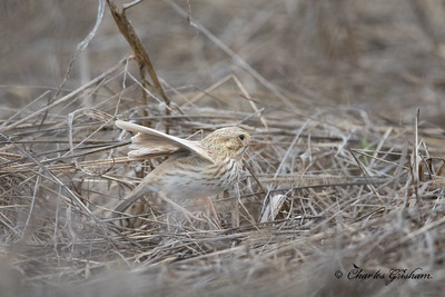 Leucistic Savannah Sparrow.   Passerculus sandwichensis'.2/18/17.  Limestone Park in Jefferson County, AL.  Charles H. Grisham Jr. & Prof. Scott Duncan.  Canon 5d4 w/Canon 600 f4 ii lens w/1.4xiii converter.