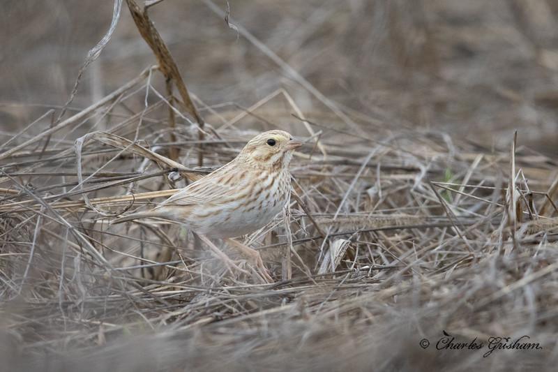 Leucistic Savannah Sparrow