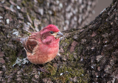 Purple Finch. Haemorhous purpureus. 12/19/16.  Grisham Acres on Berry Mountain in Mayesville, AL.   Charles H. Grisham Jr.   Canon 7d2 w/Canon 600 f4 ii lens.