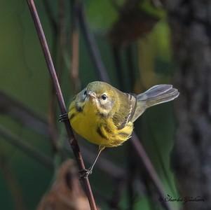 Prairie Warbler (fall plumage)