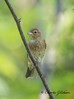 Female Indigo Bunting