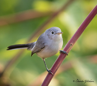 Blue-gray Gnatcatcher    GPS