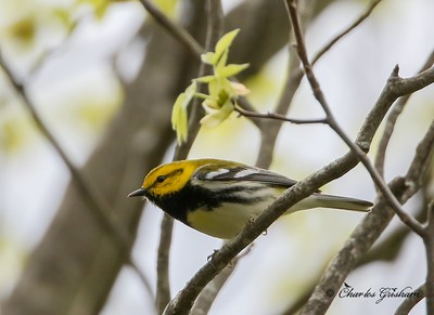 Black-throated Green Warbler (male)