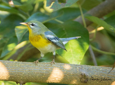 Northern Parula (fall plumage)