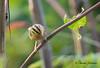 Worm-eating Warbler on Monte Sano in Huntsville.