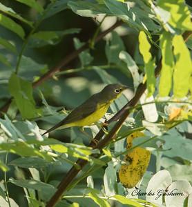 Canada Warbler (heavy crop)